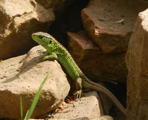 Male sand lizard, climbing over stones